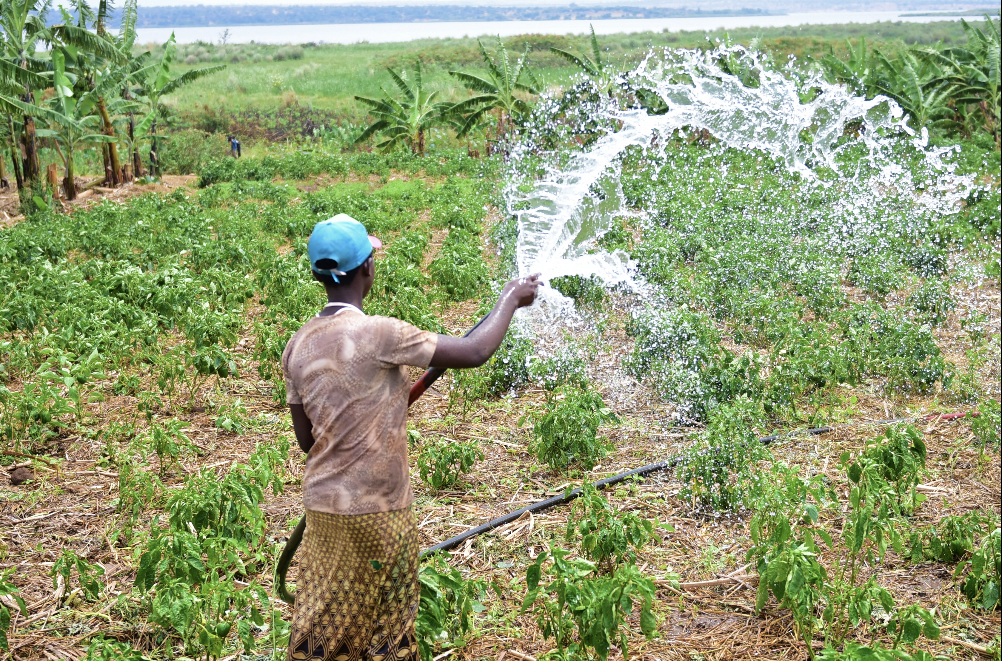 Productivity hinges on coordinated and timely management of water and other inputs. ©FAO/Teopista Mutesi