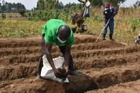 A farmer applies fertilizer ready to plant potatoes in rural Musanze, Rwanda. ©Teopista Mutesi